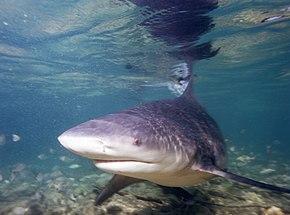 requin bouledogue.jpg